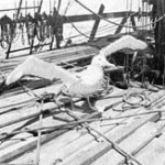 Albatross on deck 1920 (SK)